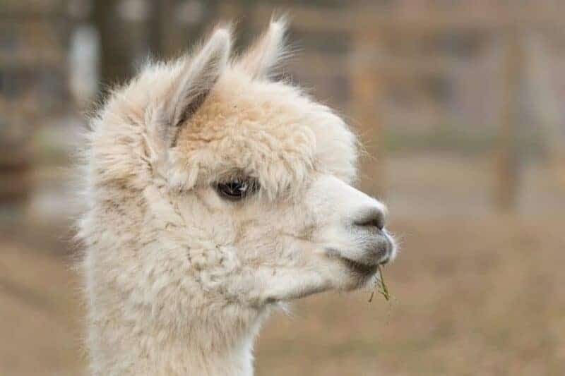 Alpacas: mamíferos con un carácter dócil, criados para la lana, pero no sólo para la lana 1