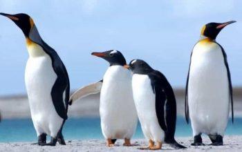 Pingüinos: características, tipos, qué comen, dónde viven y más 6