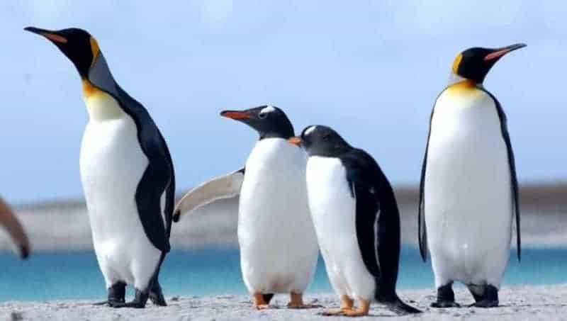 Pingüinos: características, tipos, qué comen, dónde viven y más 1