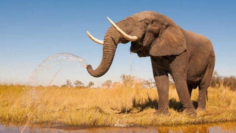 Elefantes: características, qué comen, tipos y mucho más 1