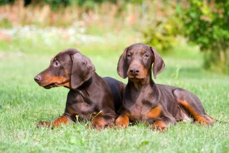 Dobermán: un perro con un carácter pacífico, cualquier cosa menos agresivo 1