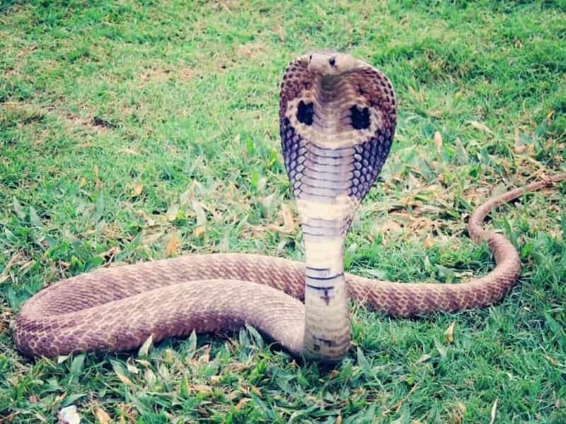 Cobras: características, dónde viven, qué comen y más 1