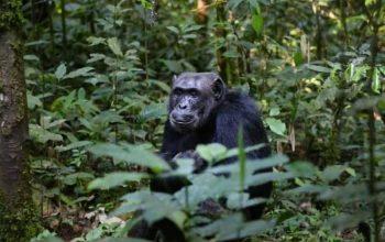 Chimpancés: características, dónde viven, qué comen y más 4