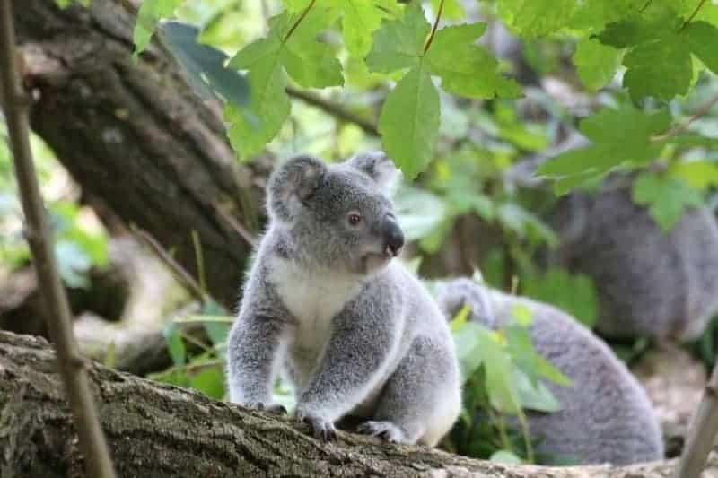 Koalas: características, dónde viven, qué comen y más 1
