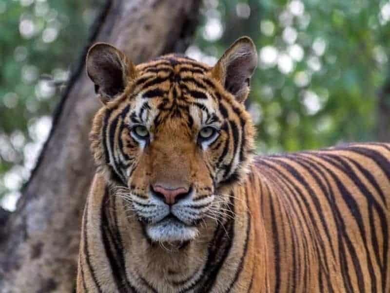 Tigres: características, dónde viven, qué comen y más 1