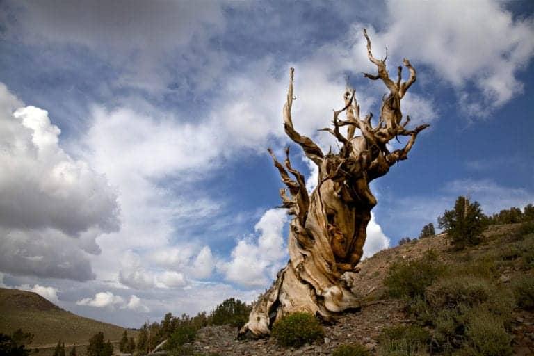 Los árboles más viejos siguen vivos