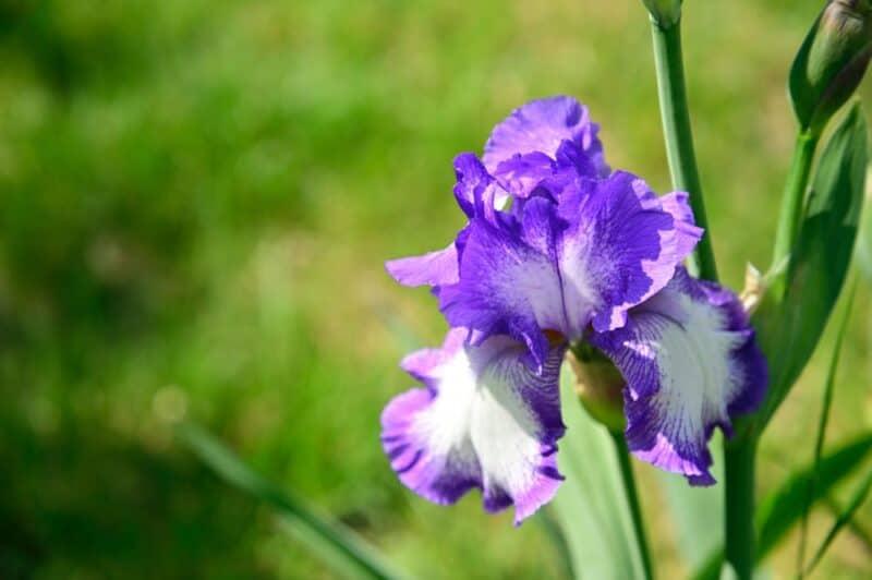 Las flores más hermosas: lirios