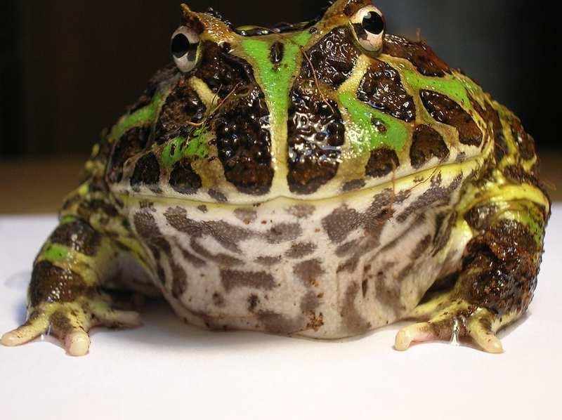 10 ranas más geniales del mundo 1