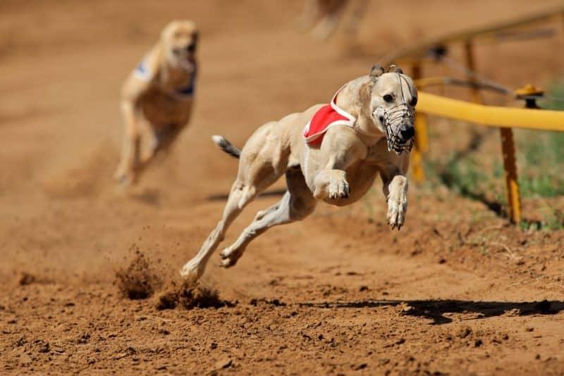 10 razas de perros más rápidas del mundo 1