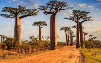 10 árboles más famosos del mundo 4