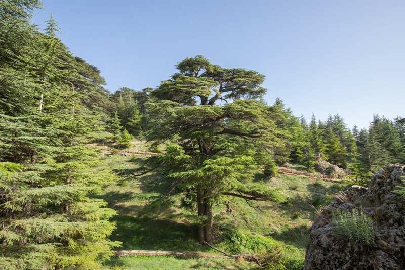 10 árboles Más Famosos Del Mundo Curionautas