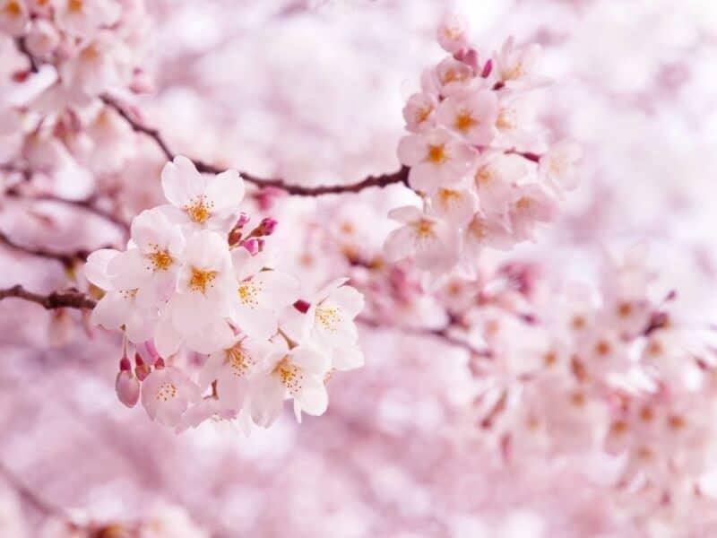 Flores más hermosas: flor de cerezo