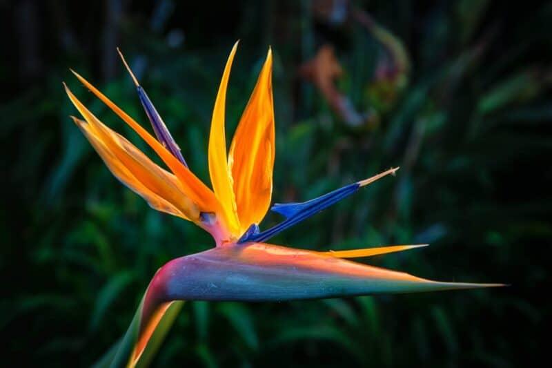 Las flores más hermosas - ave del paraíso
