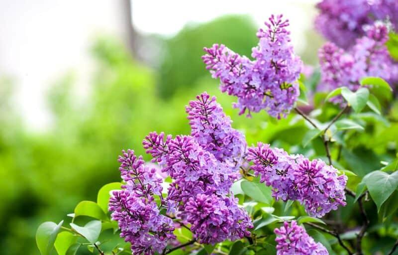 Flores más hermosas: lilas