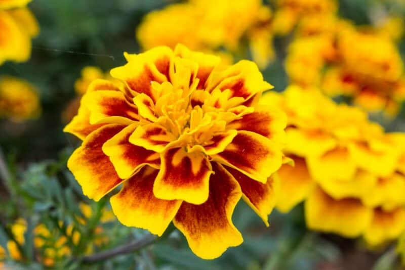 Flores más hermosas - caléndula