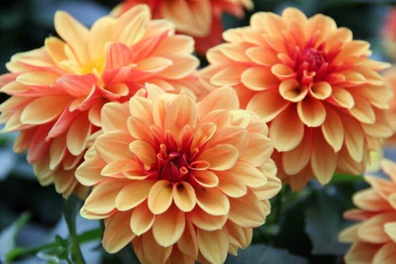 Las flores más bellas - dalia