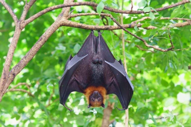 Los animales con audición más extrema - murciélago