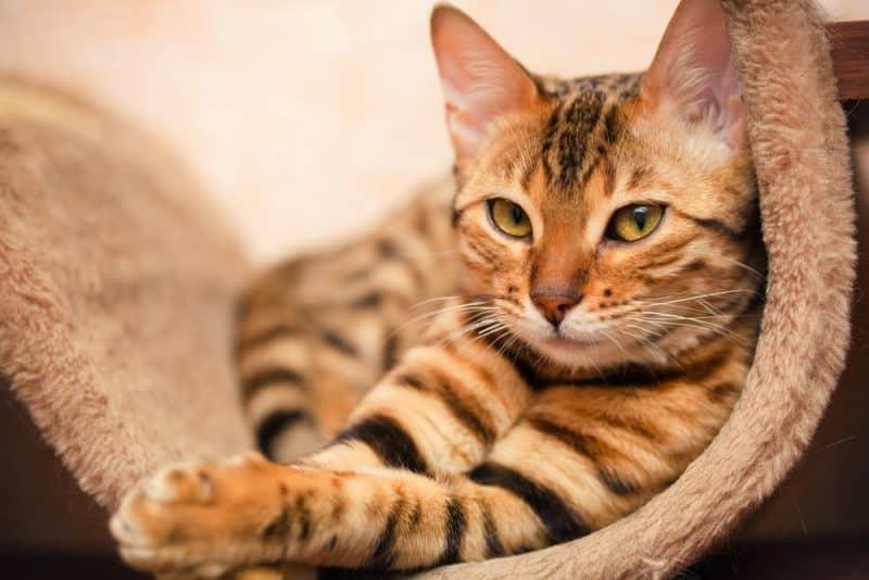 Los animales con audición más extrema - gato