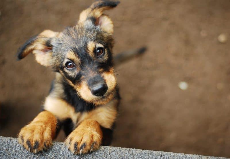Animales extremadamente auditivos - perro