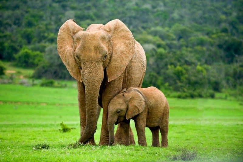 Los animales con audición más extrema - elefante