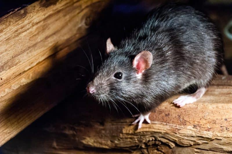 Los animales con audición más extrema - rata