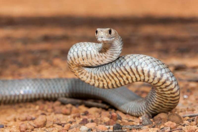Las 10 serpientes más venenosas del mundo 1