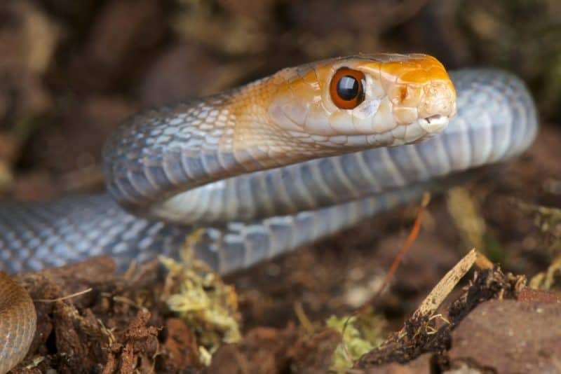 Las serpientes más venenosas - Taipan
