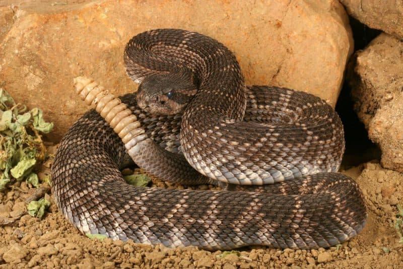 Las serpientes más venenosas - serpiente de cascabel