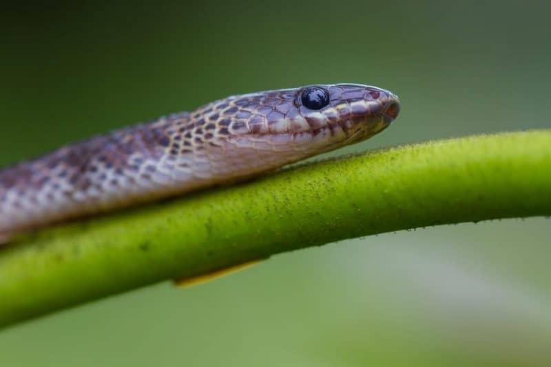 Las serpientes más venenosas - blue krait