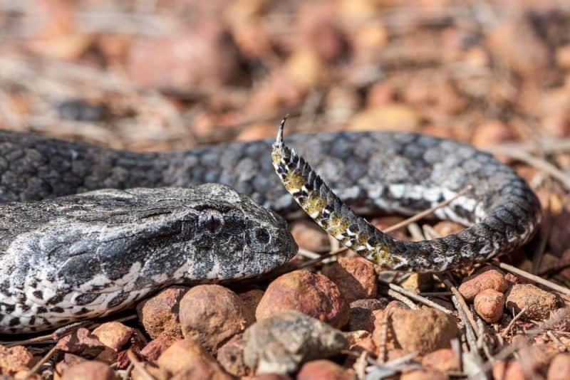 Las serpientes más venenosas - death adder