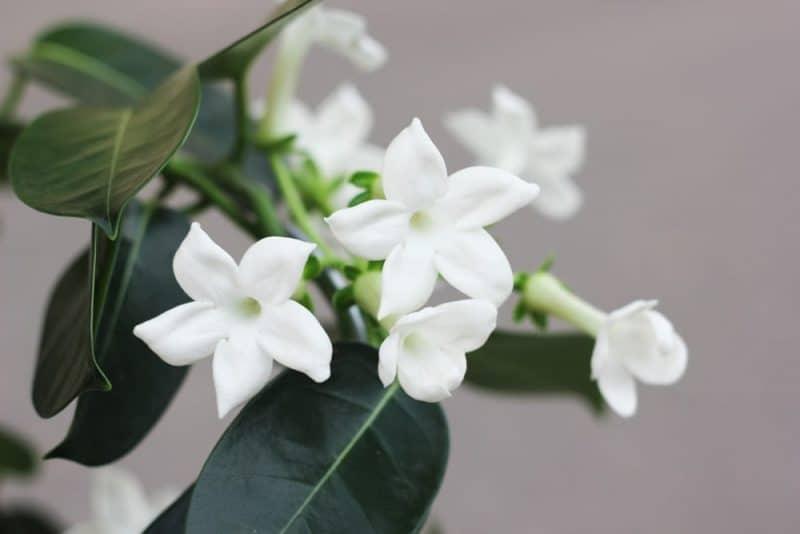 Flores de boda más populares - stephanotis