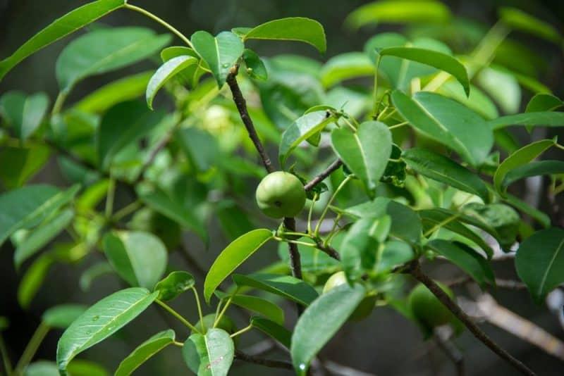 Las frutas más mortíferas - manchineel