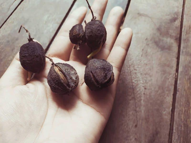 Las frutas más mortíferas - jatropha