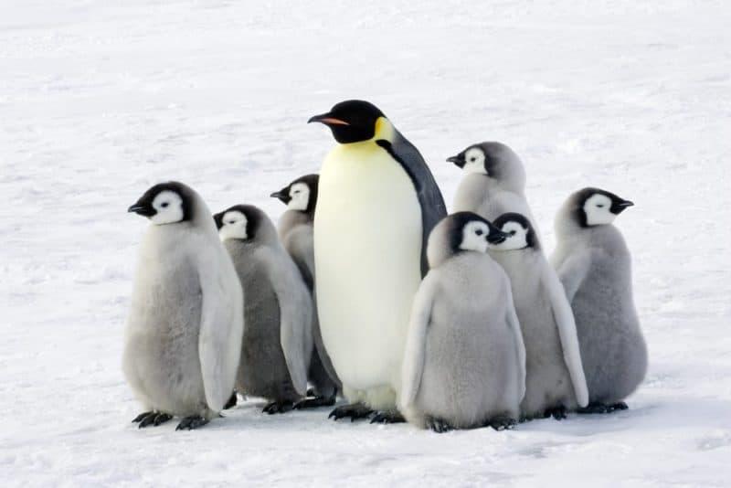 Animales que pueden vivir sin comida - pingüinos
