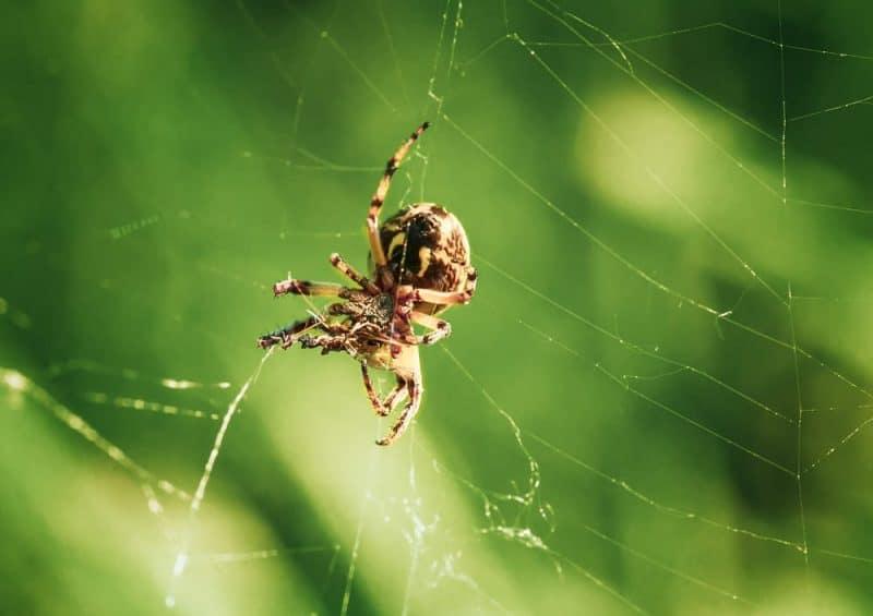 Animales que pueden vivir sin comida - arañas