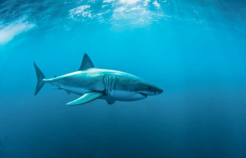 Animales que pueden vivir sin comida: tiburones