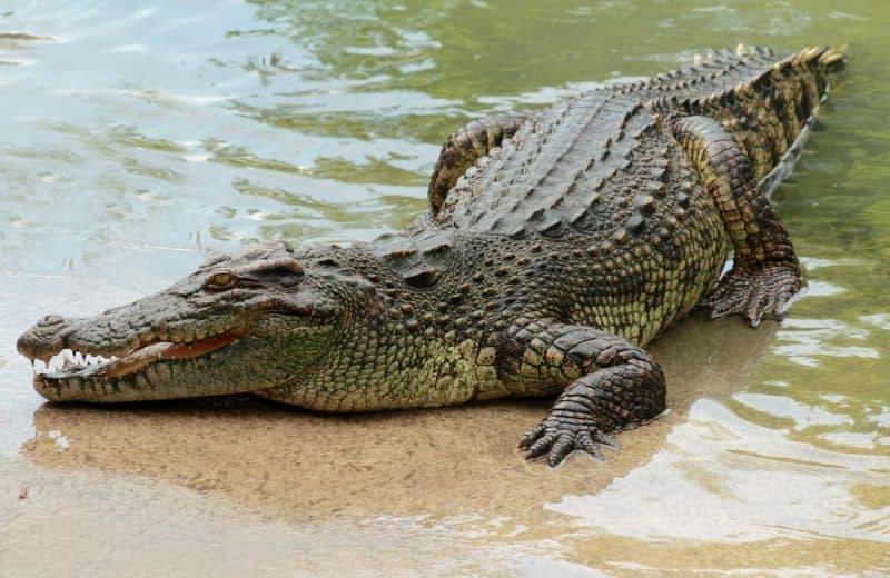 Animales que pueden vivir sin comida: cocodrilos