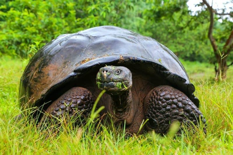 Animales que pueden vivir sin comida - tortuga de Galápagos