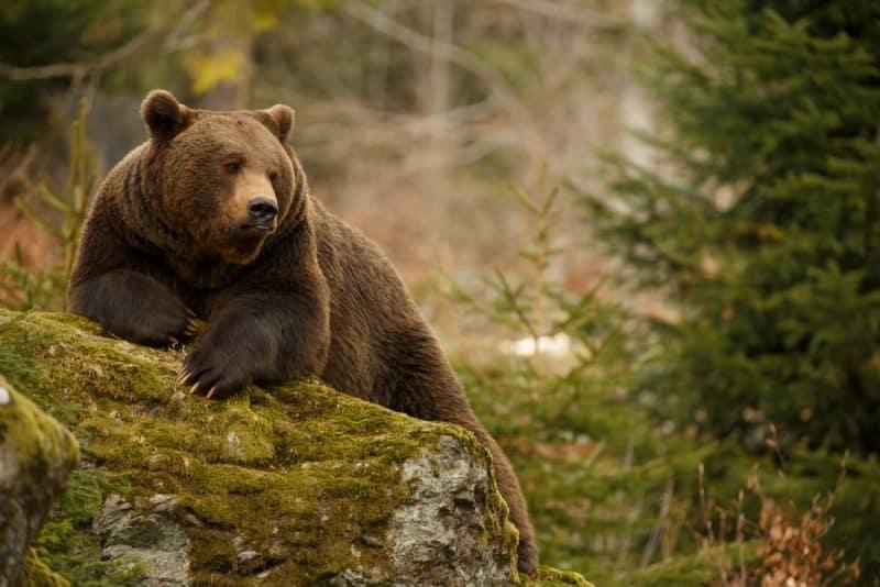 Animales que pueden vivir sin comida - osos