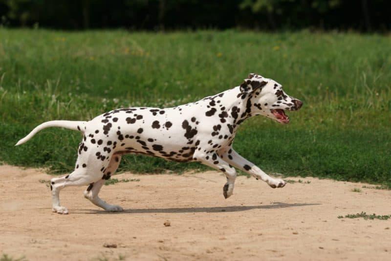 Razas de perros más rápidas: dálmatas