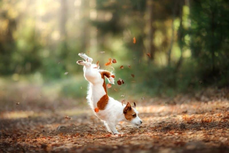 Razas de perros más rápidas - Jack Russell Terrier