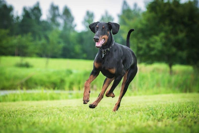 Razas de perros más rápidas - Doberman Pinscher