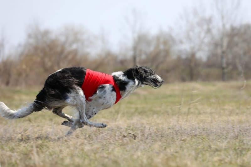 Razas de perros más rápidas - Borzoi
