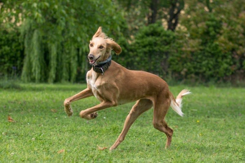 Razas de perros más rápidas - Saluki