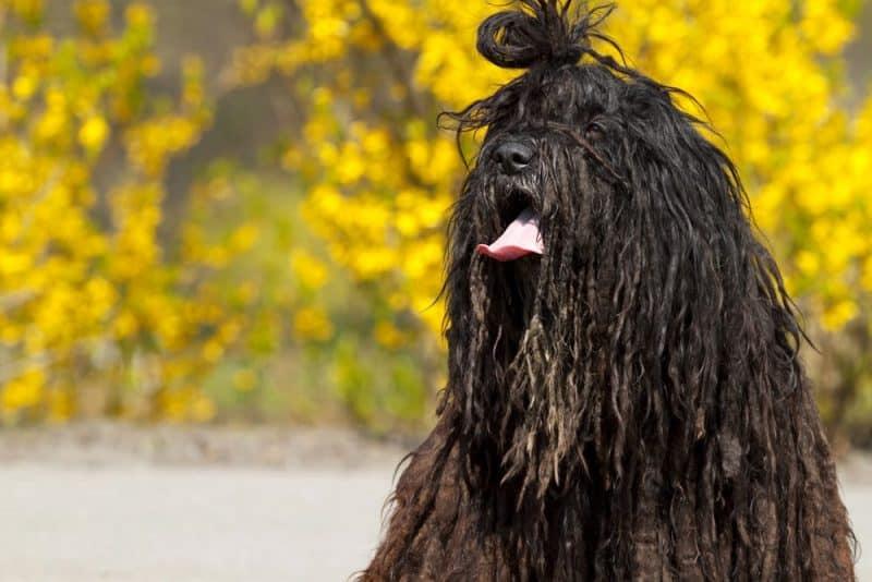 Las razas de perros más divertidas - Bergamasco