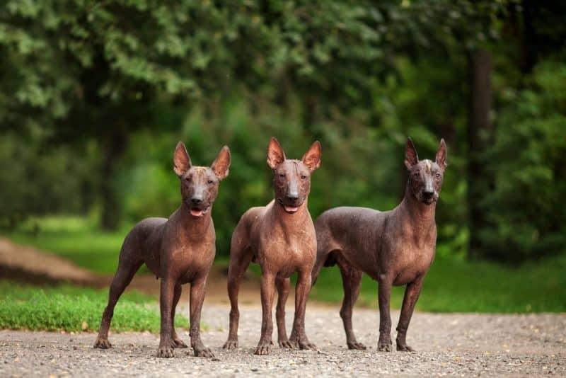 Las razas de perros más divertidas - Xoloitzcuintli