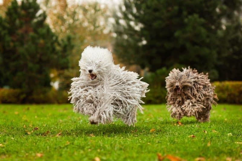 Las 10 razas de perros más divertidas del mundo 1