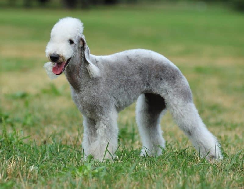 Las razas de perros más divertidas - Bedlington Terrier