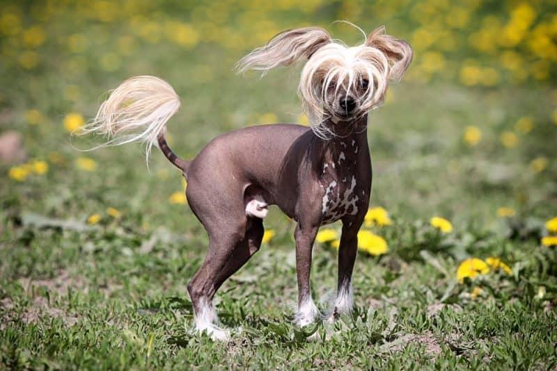 Las razas de perros más divertidas - Chinese Crested