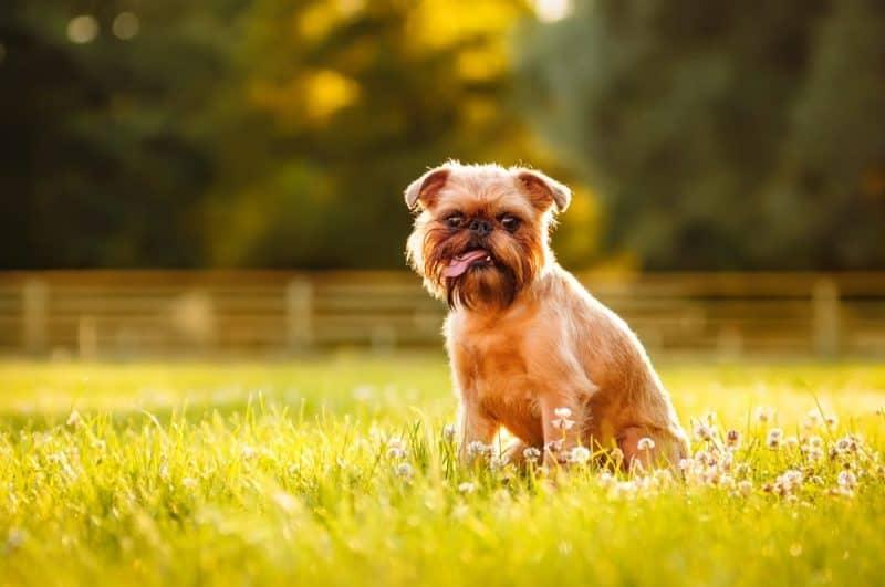 Las razas de perros más divertidas - Brussels Griffon